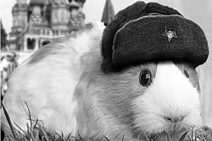 Russian Guinea Pig