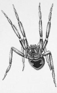 Erection making killer spider