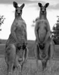 Kangaroos or Diplomats?