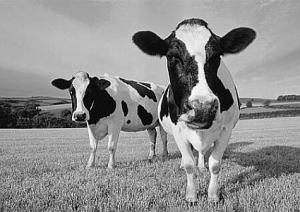 Cows-R-Us